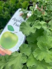 Geranie mit Apfel-Duft