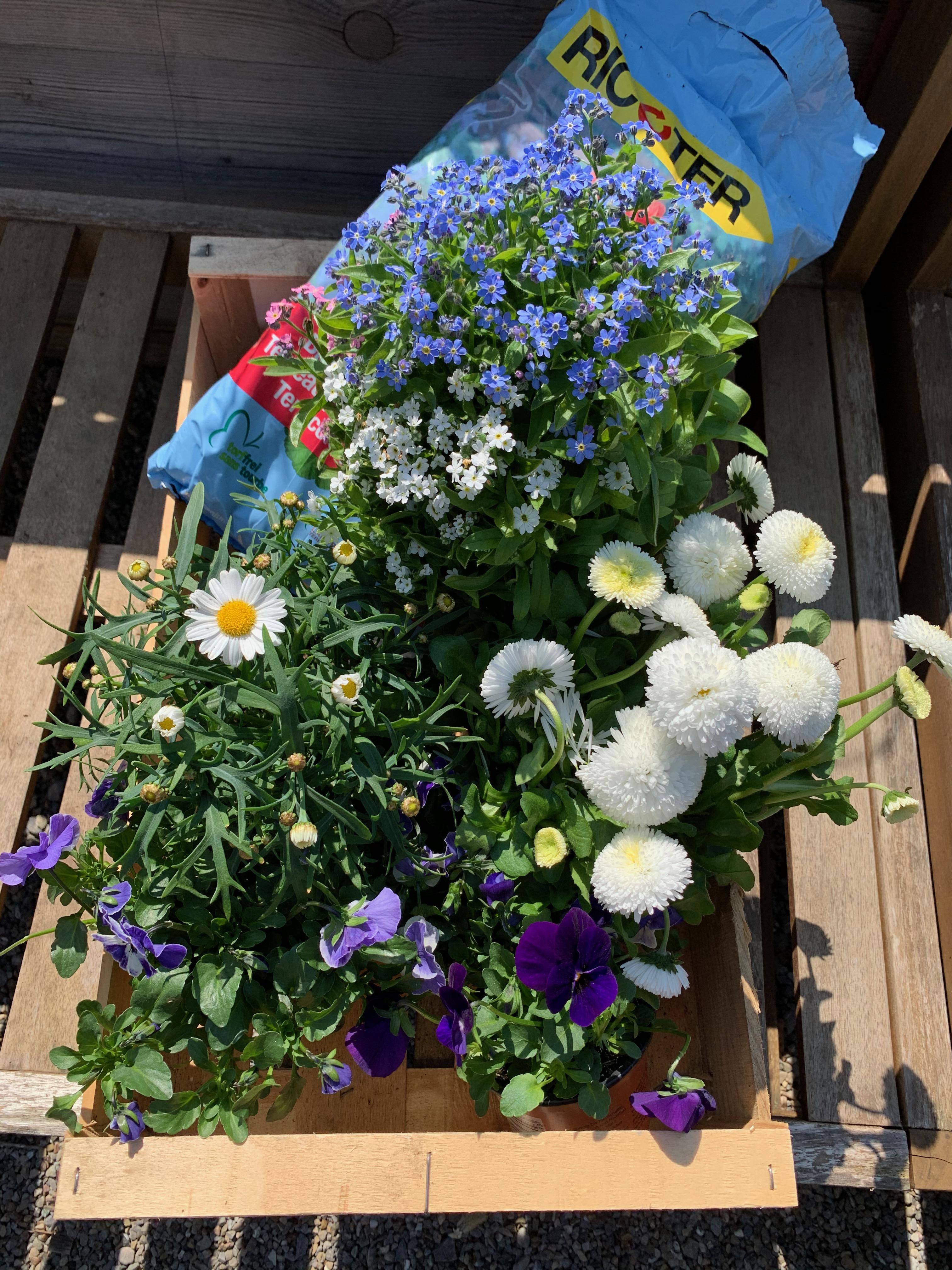 Frühlingsmix hellblau-weiss zum selber pflanzen